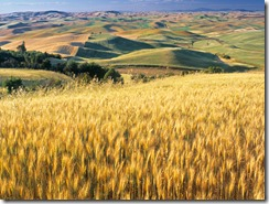 Wheat Fied, Palouse, Washington State, USA
