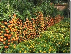 citrus-fruit-trees